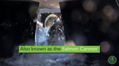 鮭魚入管內數秒到家 美創「加農砲」助返鄉