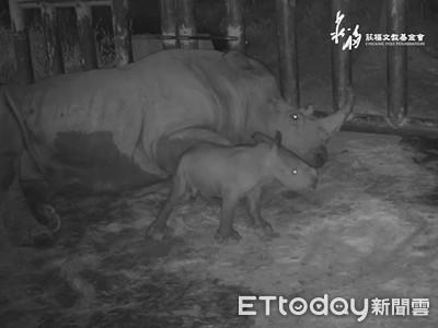 白犀牛孕媽產子 新生娃咕溜掉出