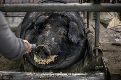 終止神豬比賽連署破7千 陳吉仲回應了