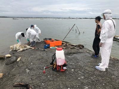 東石白水湖驚見豬屍 緊急採樣送驗
