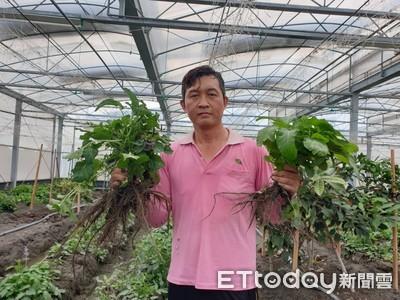 他種有機丹蔘成效佳 鼓勵農友將檳榔轉種