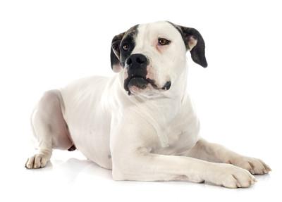 溫和狗產後性情大變 情侶就餵牠毒香腸割喉