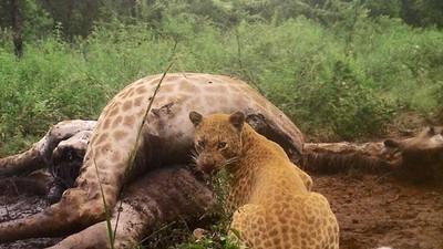 世上最稀有「草莓豹」珍貴身影曝光