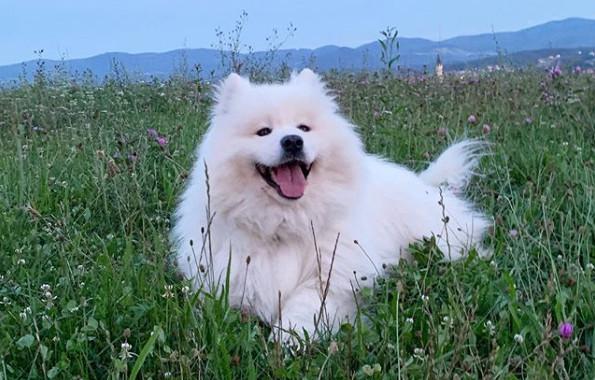 「節奏控」薩摩耶犬擁有超強音感 用耳朵一上二下不落拍