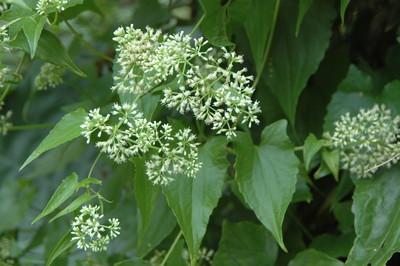 世界百大入侵種「小花蔓澤蘭」狂蔓延