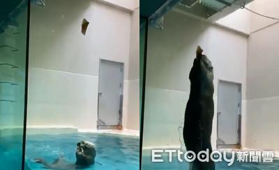 胖海獺變身泳將 飛躍1米半吃魚