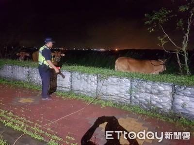 20多隻牛逛大街 警「對牛吹哨」難忘經驗
