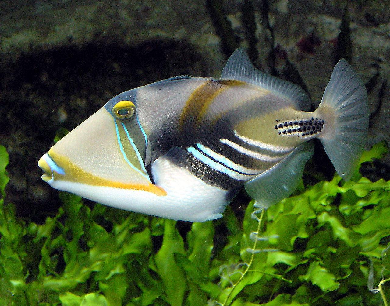 ▲▼砲彈魚(圖/Wikipedia)