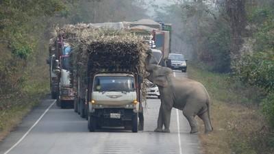 甘蔗貨車遭大象臨檢!司機乖乖排隊等驗貨 挑到滿意的甘蔗才放行