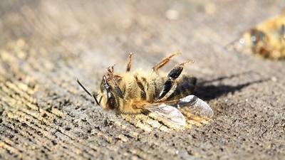生態危機再起!巴西蜜蜂「3個月死5億隻」 政府開放禁藥惹禍