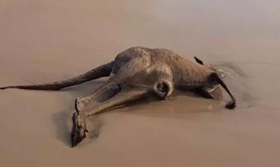澳森林野火 袋鼠「跳海溺斃」