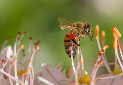 廣灑農藥 巴西蜜蜂3個月死5億隻