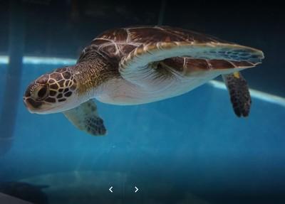 泳池也能養海龜! 室戶廢校水族館爆紅