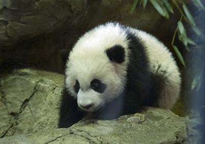 貿易戰衝擊 旅美大貓熊踏上歸途