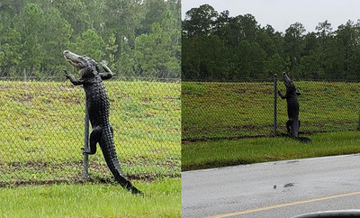 野生鱷魚爬柵欄 闖海軍基地閒晃