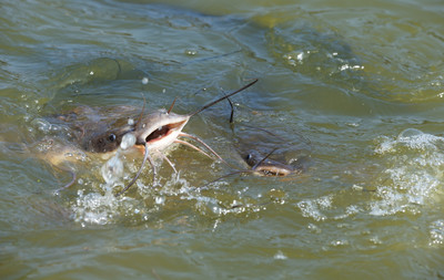 他「雄風」被當魚餌 活魚大口緊含