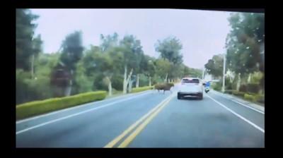 金門牛狂奔直直撞上 車門「碰」秒變形
