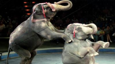 為了讓大象過幸福退休生活...丹麥政府5千萬買下馬戲團最後4隻大象!