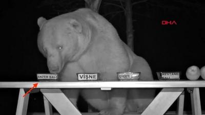 擋不住貪吃熊夜闖偷吃蜂蜜! 乾脆「聘熊當試吃員」成最佳代言人