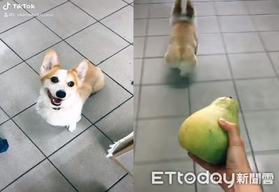 看到柚子追來 柯基短腿向前逃