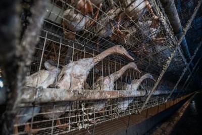 「國寶鴨」被塞籠虐待一滴水也碰不到