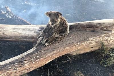 澳洲無尾熊逃出火海 醫護人員一口一口餵