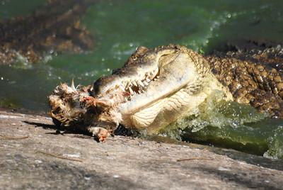 巨鱷叼走妹妹 15歲哥砸石頭救人