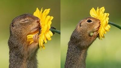 小松鼠「緊抱菊花」聞香享受~下一秒突睜開萌眼,啊…鏡頭被發現了