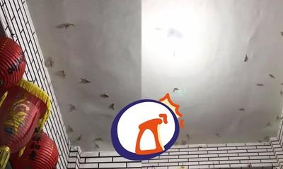 20隻↑壁虎黏天花板 網笑:牠們也過中秋