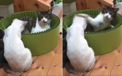 爆走貓把萌喵擊倒 牠後倒秒失憶