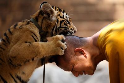 泰佛寺147老虎被救援 3年後病死逾半