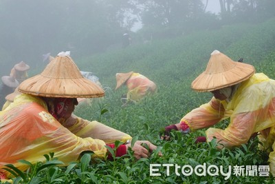全國採茶好手齊聚坪林拚技藝
