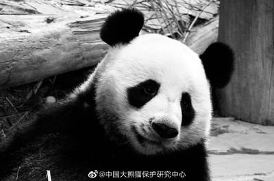 19歲旅泰大熊貓「創創」吃完竹子離世