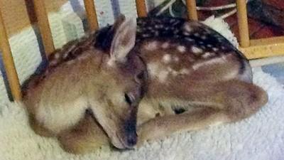 重傷小鹿「難忘人類救命之恩」 野放當天,一直跑回來不願離開…