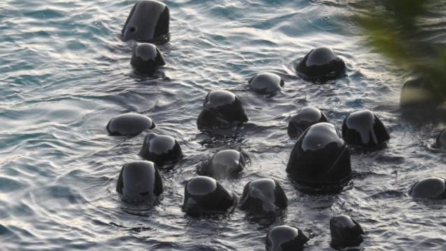海豚屠殺前畫面曝光!露出小腦袋縮在一起  領航母豚不斷安慰家人