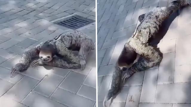 樹懶爬行很萌?實際畫面「太像人」嚇到網友:怎麼跟動畫片不一樣