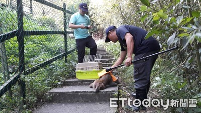 南庄遊客遭猴攻擊 縣府吹箭伺候