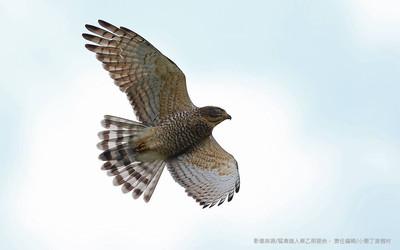 萬鷹磅日 灰面鵟鷹9月底到滿州
