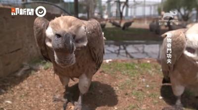 最強清道夫!禿鷹超強胃酸滅病菌