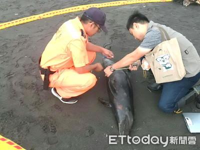 海豚悲歌!176公分長瓶鼻海豚 命喪宜蘭沙灘