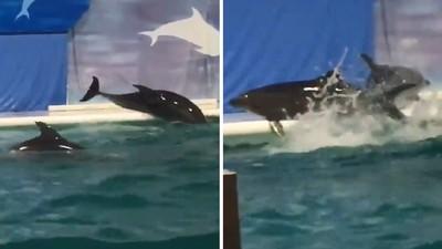 小海豚趁沒人在「跳出水池」玩嗨了!遊客含淚目擊:牠們渴望自由