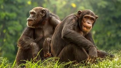 看完猩猩交配片「扯下媽媽胸罩」!16歲少年連親妹妹也猥褻,獸性大發