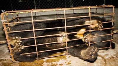 關到發瘋不抵抗了!繁殖場黑熊抓廚餘往嘴裡塞 吃飽癱軟等人來割動脈
