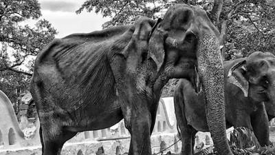 參加遊行是神的祝福?斯里蘭卡「皮包骨大象」走了 下輩子別再受苦