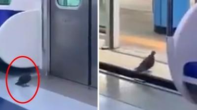 目睹「鴿子搭電車」耐心等門開!乘客拍完好慚愧:該跟牠學學