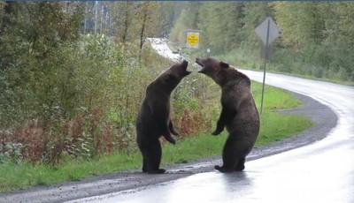 公路目睹灰熊大戰 後方還有野狼