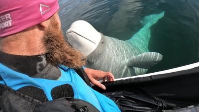 「貪玩小白鯨」撞掉潛水員GoPro!馬上鑽進海底撿回來:對不起還給你