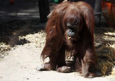 阿根廷首隻擁有人權的動物就是牠