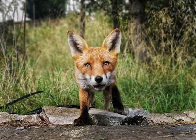 偷拍狐狸卻被發現 手機被叼走滅證