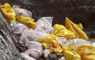 近布達佩斯 匈牙利5起非洲豬瘟病例